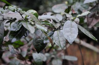 2014.3.8老茶樹2.jpg