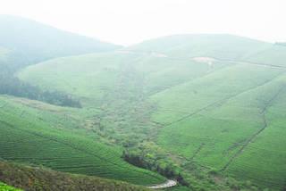 茶畑2.jpg